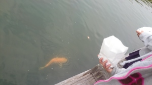 餌もおまつりモードな鯉たち。